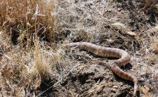 A Rattlesnake - Pacific Crest Trail
