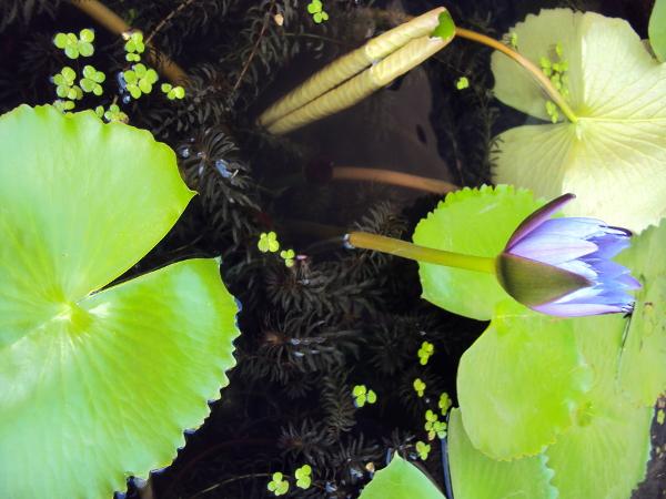 Lotus Flower - Surat Thani - Thailand