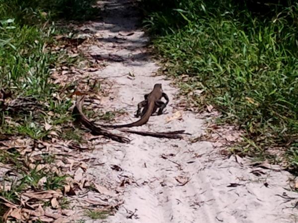 Monitor Lizard  - Little Koh Chang - Thailand