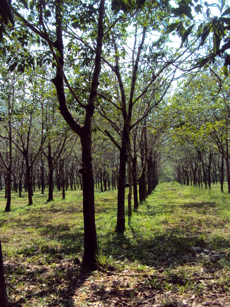 Rubber Trees  - Little Koh Chang - Thailand