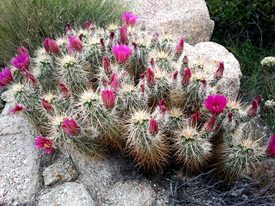 Cactus in Bloom - PCT