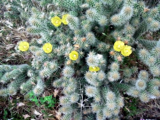 Cholla Cactus - PCT