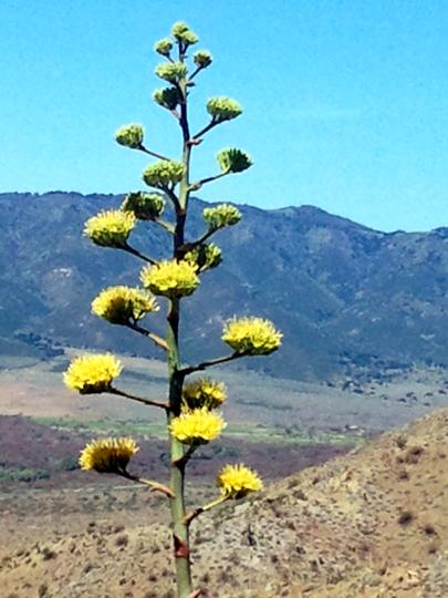Century Plant - San Felipe Hills - PCT