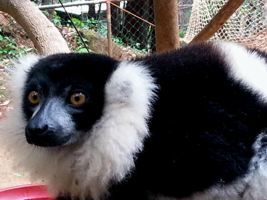 Black and White Ruffed Lemur - Ivoloina Park - Madagascar