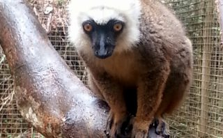 White Fronted Brown Lemur - Ivoloina Park - Madagascar