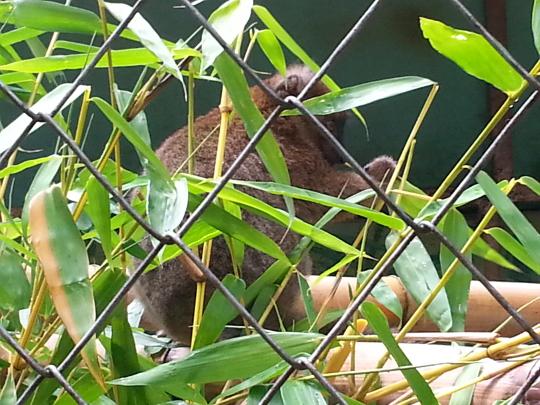 Greater Bamboo Lemur - Ivoloina Park - Madagascar