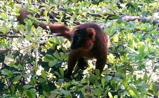 Hybrid Lemur - Pangalenes Canal - Madagascar