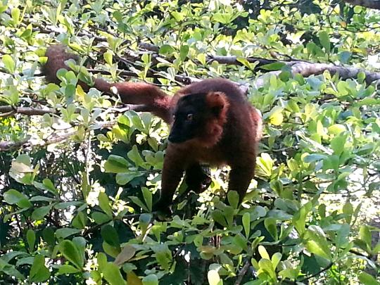 Hybrid Lemur - Pangalanes Canal - Madagascar
