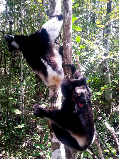 Indri Lemurs - Pangalanes Canal - Madagascar