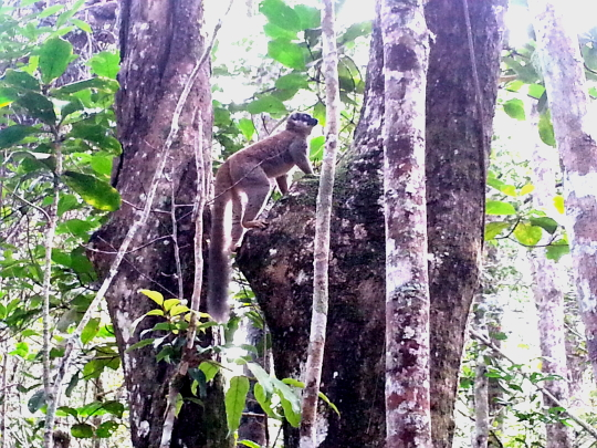 Common Brown Lemur - Andasibe National Park - Madagascar