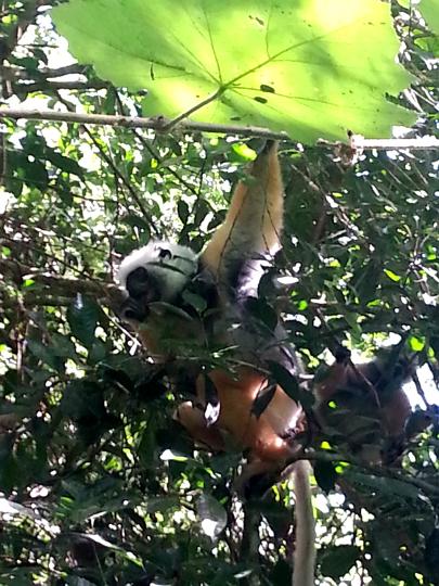 Golden Diademed Sifaka Lemur - Andasibe National Park - Madagascar