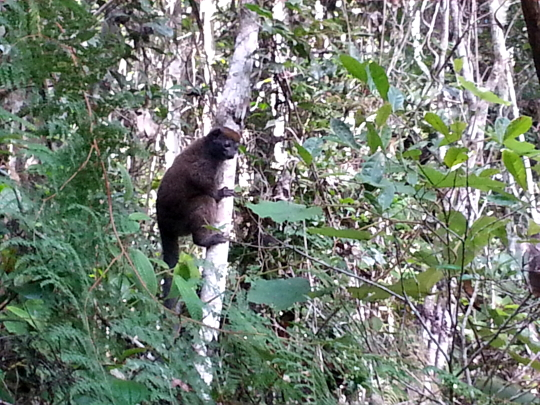 Gray Bamboo Lemur - Andasibe National Park - Madagascar