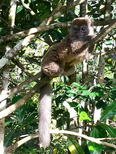Gray Bamboo Lemur - Vakona Lodge - Andasibe - Madagscar