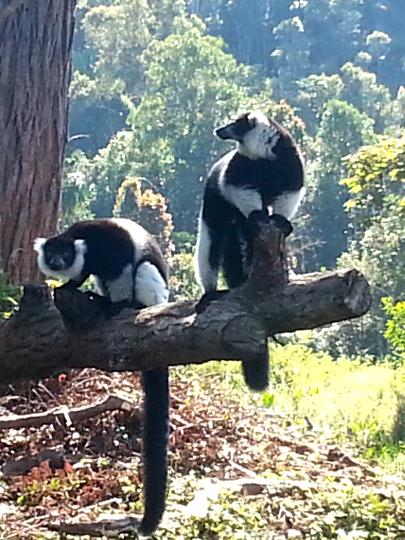 Black and White Ruffed Lemur - Vakona Lodge - Andasibe - Madagscar