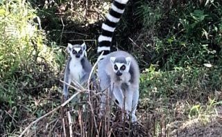 Ring Tail Lemurs - Vakona Lodge - Andasibe - Madagascar