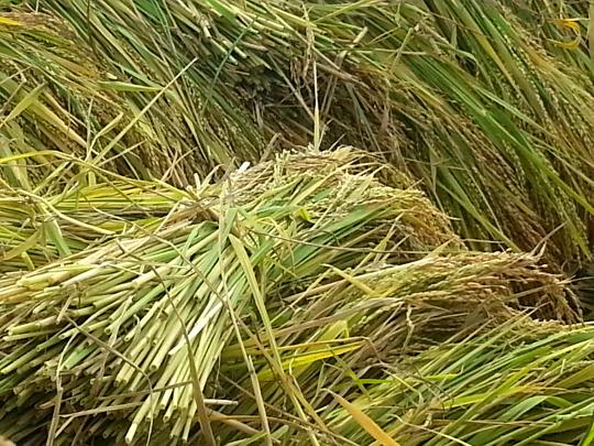 Rice Harvest - Antsirabe - Madagascar