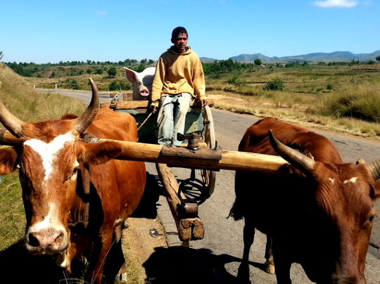 Pig in an Oxcart on RN7 - Madagascar