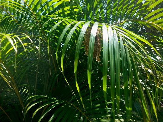 Souimanga Sunbird Nest - Tapakala - Madagascar