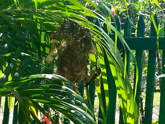 Mother Madagascar Sunbird - Tapakala - Madagascar
