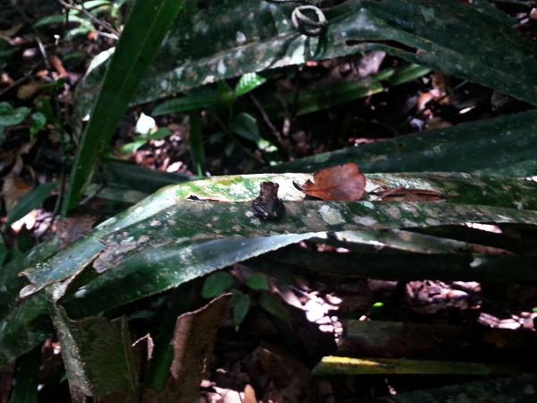 Small Frog - Mitsinjo - Andasibe - Madagascar